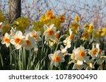 Daffodils  Narcissus  Flowerin...