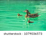 Nice Female Duck With Duckling...