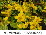 close up of bright yellow marsh ...   Shutterstock . vector #1079083664