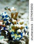 Small photo of Harlequin Shrimp (Hymenocera picta)