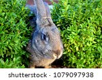 the flemish giant rabbit is a...   Shutterstock . vector #1079097938