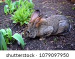 the flemish giant rabbit is a...   Shutterstock . vector #1079097950