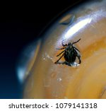 Small photo of Macro shot of the deadly parasite American Dog Tick Dermacentor variabilis Trapped in a plastic bottle