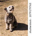 cute hungarian pumi puppy  | Shutterstock . vector #1079179763