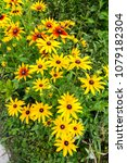 Small photo of Black eyed susan- rudbeckia flowers