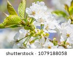 springtime blossom twig with... | Shutterstock . vector #1079188058
