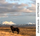 icelandic horse in a field with ... | Shutterstock . vector #1079239613