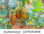 the cucumber on the vine. | Shutterstock . vector #1079293598