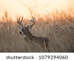 ten point white tail at sunrise ... | Shutterstock . vector #1079294060