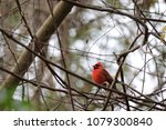 bright red northern male... | Shutterstock . vector #1079300840