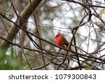 bright red northern male... | Shutterstock . vector #1079300843