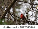 bright red northern male... | Shutterstock . vector #1079300846