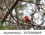 bright red northern male... | Shutterstock . vector #1079300849