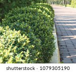 boxwood boxwood. a bush of... | Shutterstock . vector #1079305190