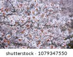 cherry tree in full bloom | Shutterstock . vector #1079347550