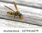 Tree Wasp  Or Paper Wasp Very...