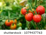 Ripe Red Tomatoes Are On The...