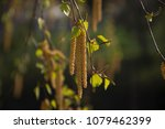 catkins on birch closeup | Shutterstock . vector #1079462399