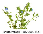 veronica filiformis. it is... | Shutterstock . vector #1079508416