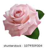 Stock vector realistic pink powder rose queen of beauty 1079509304