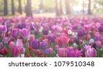 rose flower garden at hitachi...   Shutterstock . vector #1079510348