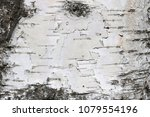 texture of birch bark as... | Shutterstock . vector #1079554196
