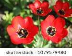 Two Open Red Tulips.