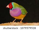 a gouldian finch  erythrura...   Shutterstock . vector #1079579528