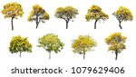 The collection set of isolated golden yellow cortez flower blossom trees on white background for spring and summer season design - stock photo
