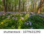 majestic spring landscape  wild ... | Shutterstock . vector #1079631290