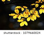 beech leaves in backlit  autumn | Shutterstock . vector #1079660024