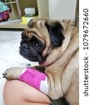 Small photo of Adorable pug dog was sick and had pink splint on her leg.