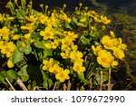 bright yellow marsh marigold or ...   Shutterstock . vector #1079672990