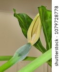 Small photo of Flower of Alocasia