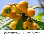 bunch of loquats or japanese... | Shutterstock . vector #1079743994