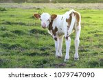 Cute Brown White Calf On The...