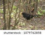 starling black bird | Shutterstock . vector #1079762858