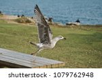 the seagull soars from the... | Shutterstock . vector #1079762948
