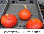 bright orange pumpkins in the... | Shutterstock . vector #1079767856