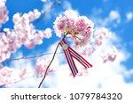 blossoming pink sacura cherry... | Shutterstock . vector #1079784320