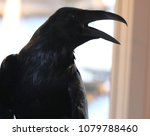 common raven. ravens are the... | Shutterstock . vector #1079788460
