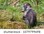 young collared mangabey | Shutterstock . vector #1079799698