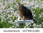 a small fat cat sits with funny ...   Shutterstock . vector #1079812280