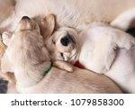 Two Labrador Puppies Sleeping...
