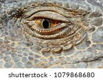 Green Iguana Eye  Macro View