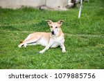 red haired dog playing on grass.... | Shutterstock . vector #1079885756