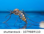 Small photo of Macro of a Mosquito on water, Dangerous Zica virus aedes aegypti mosquito on human skin , Dengue, Chikungunya, Mayaro fever