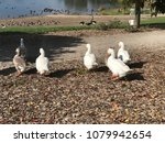 Small photo of A flock of geese waddle together