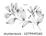 vanilla flower drawing... | Shutterstock .eps vector #1079949260