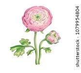 beautiful gentle pink peony... | Shutterstock .eps vector #1079954804
